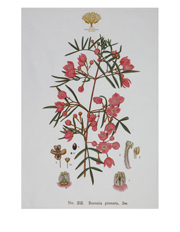 Royal Botanic Garden Tea Towel 50x70cm Boronia