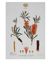 Royal Botanic Garden Tea Towel 50x70cm Bottlebrush