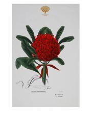 Royal Botanic Garden Tea Towel 50x70cm Telopea