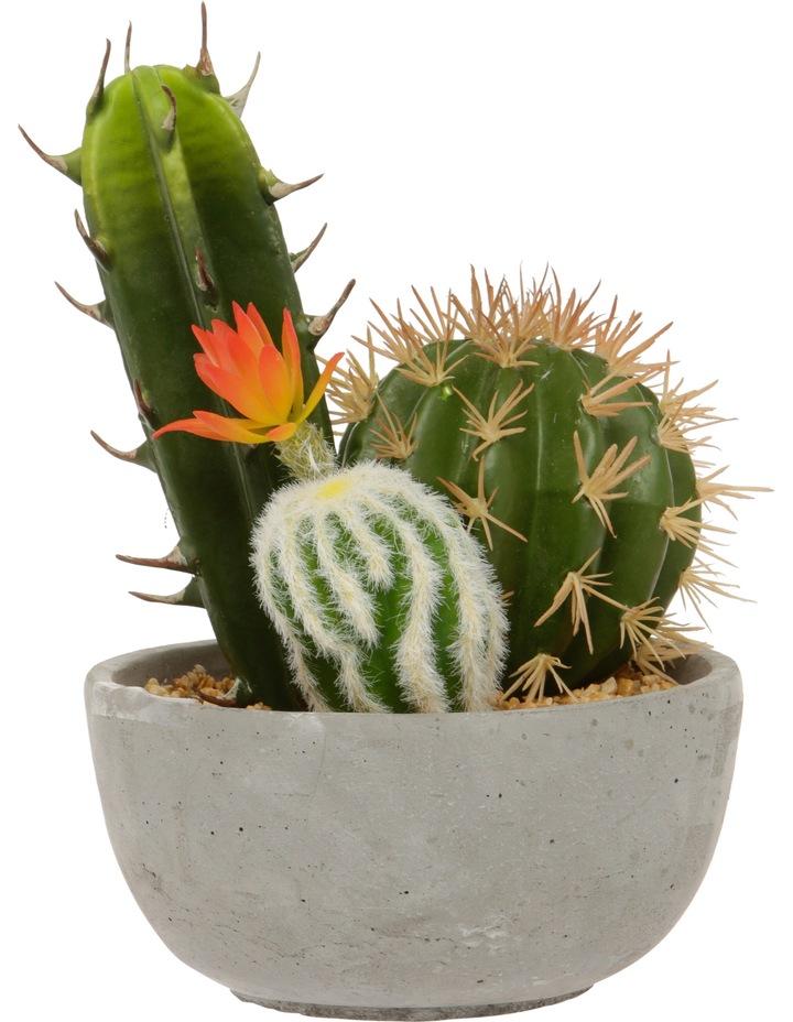Flowering Cactus in Cement Pot 25cm image 1