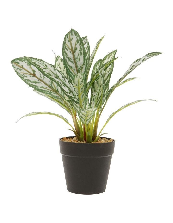 Silker King Plant in Plastic Pot 26cm image 1