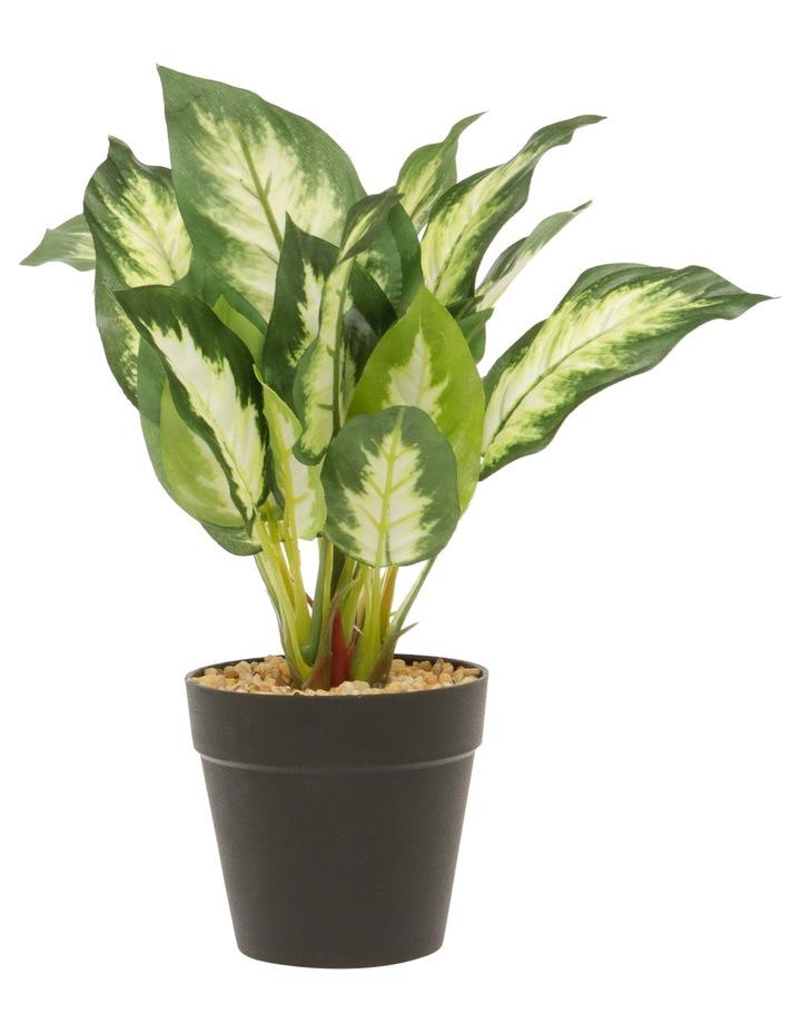 Dieffenbachia Plant in Plastic Pot 26cm image 1