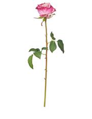 Rogue - Dutchess Rose Stem Mauve