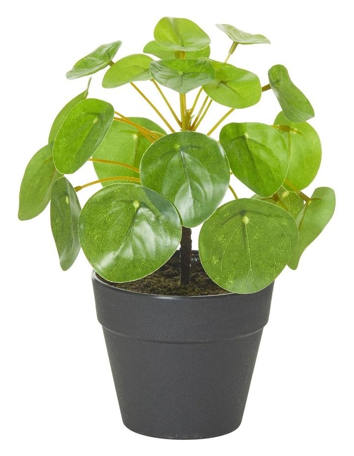 Money Plant-Garden Pot image 1