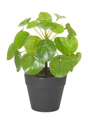 Rogue - Money Plant-Garden Pot