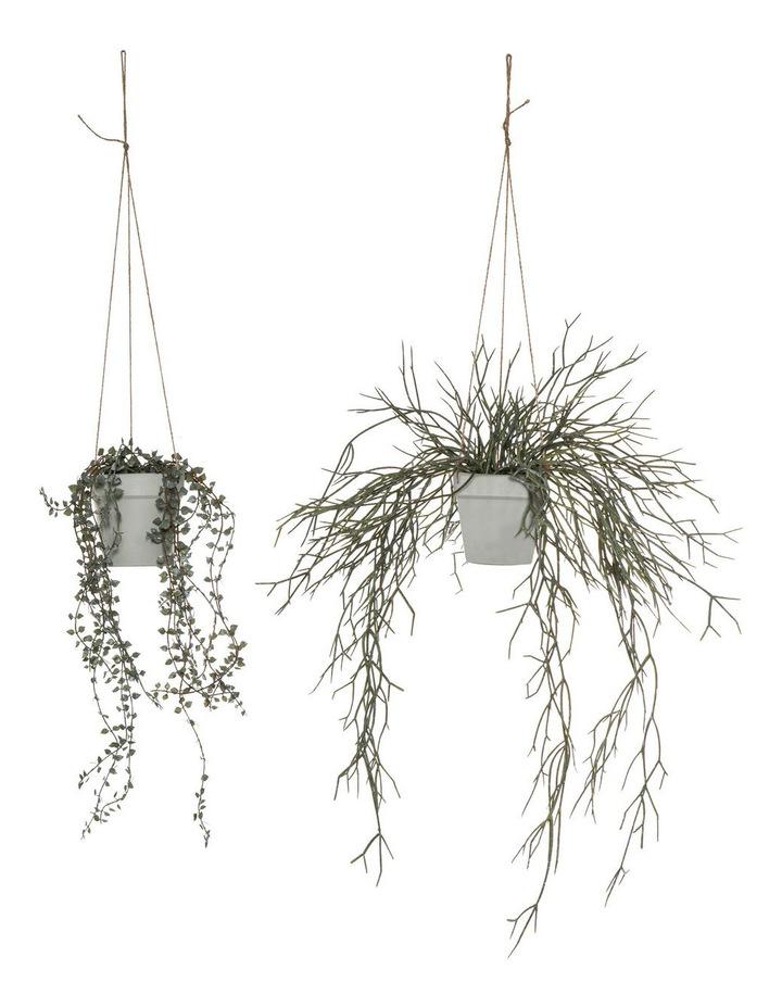 Angel Vine Pencil Cactus-Hanging Pot 2 Asst image 1