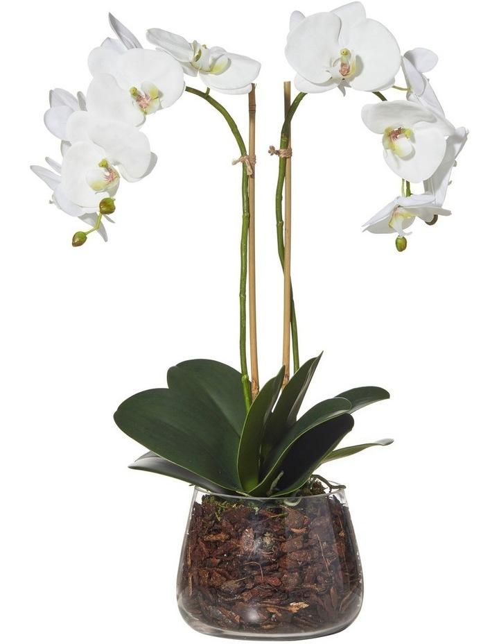 Phalaenopsis in Classic Bowl White 35x22x59cm image 1