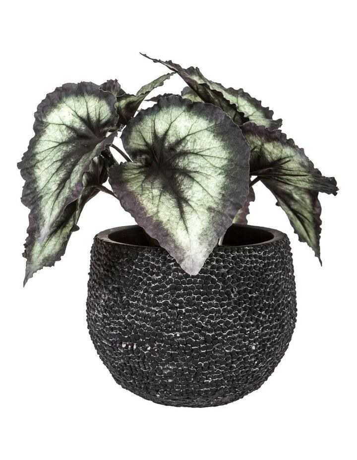Begonia Bush 26cm Variegated image 1