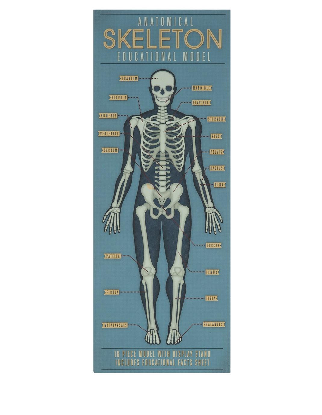 Rex Anatomical Skeleton Model Myer Online